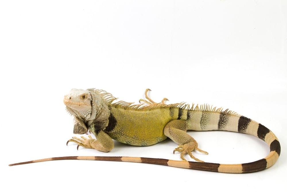 Green Iguana white bg