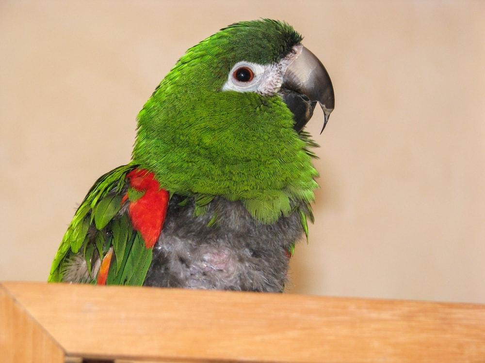 Hahn's macaw cutie