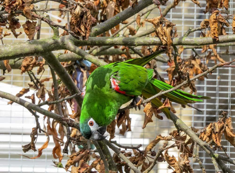 Hahn's macaw on tree