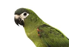 Hahn's Macaw Care Guide, Info & Price