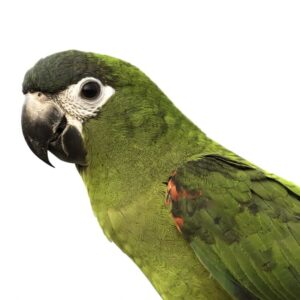 Hahn's Macaw - Care Guide, Info & Price