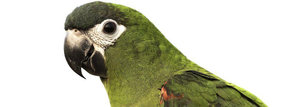 Hahn's macaw white background e1575818528597