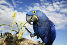 Hyacinth Macaw Care Guide - Diet, Lifespan & More