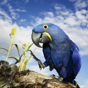 Hyacinth Macaw - Care Guide, Info & Price