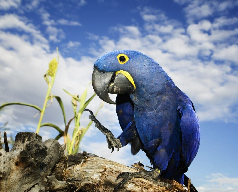 Hyacinth Macaw on rock