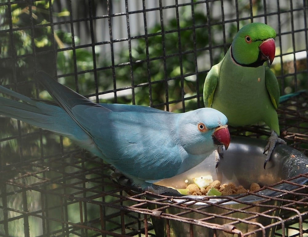 Indian Ring Necked Parakeet couple