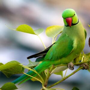 Indian Ring Necked Parakeet - Full Care Guide