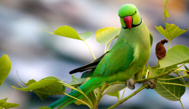 Indian Ring Necked Parakeet green