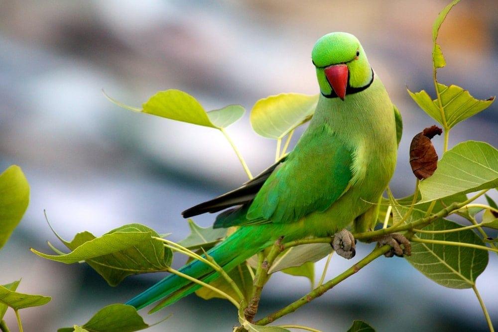 Indian Ring Necked Parakeet green