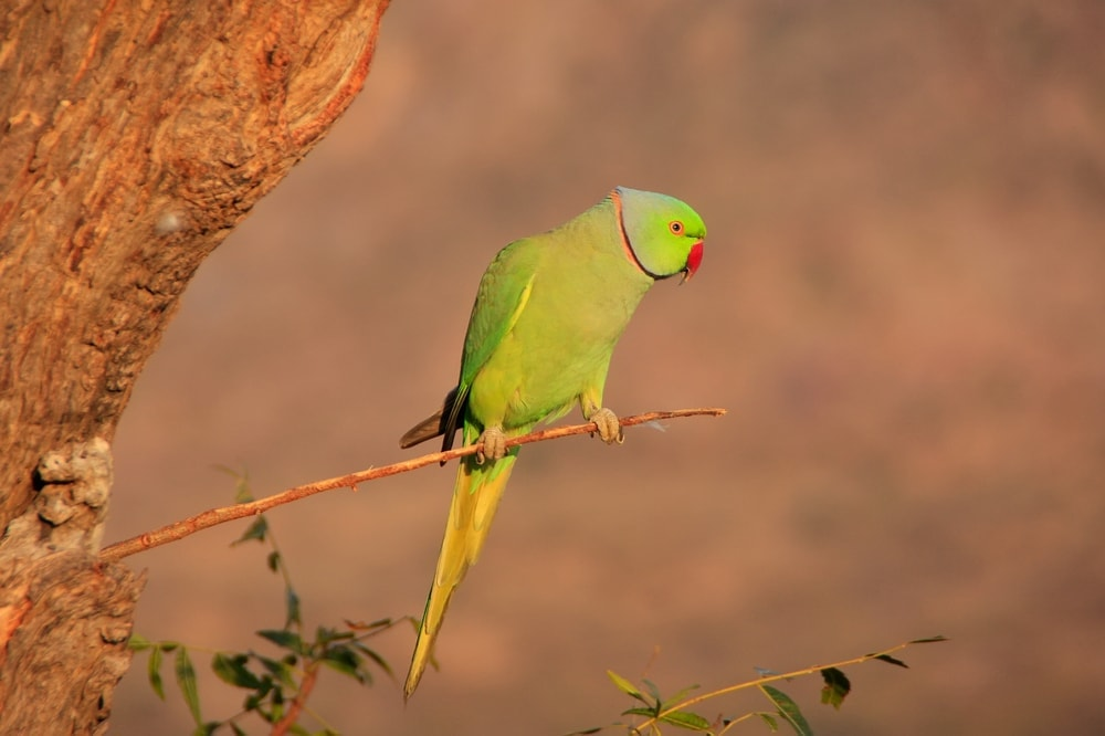 Indian Ring Necked Parakeet in the wild