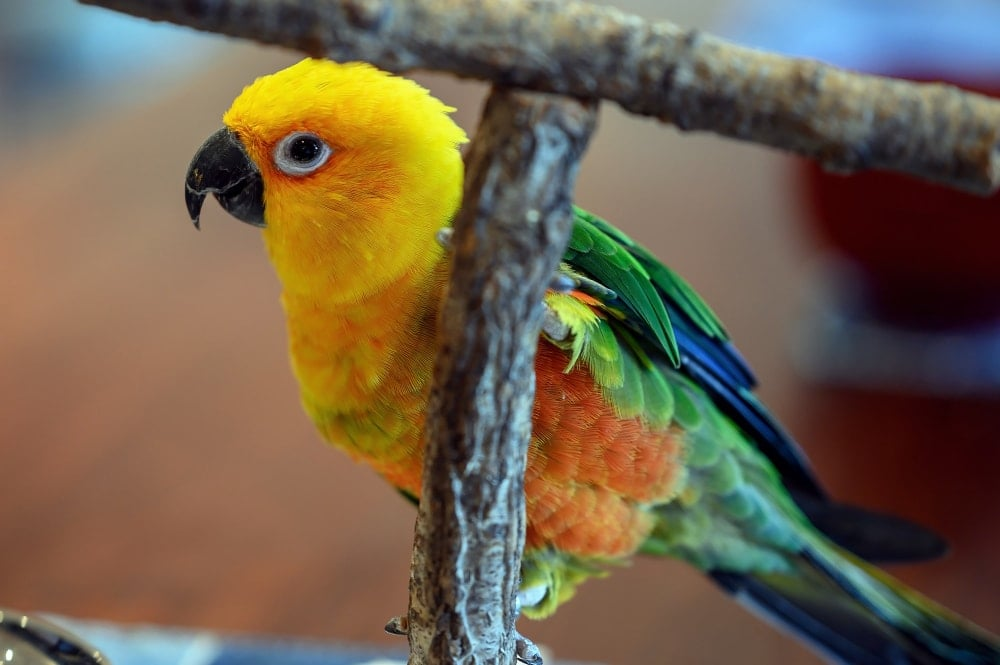 Jenday conures cute