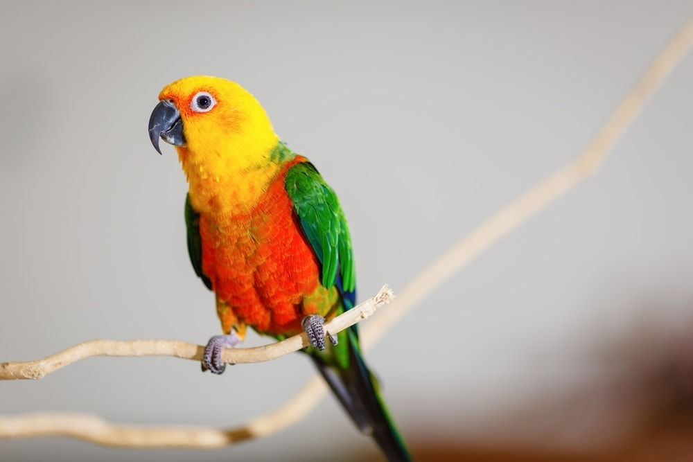 Jenday conures on stick 1