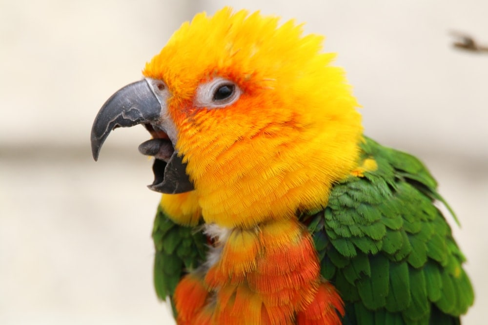 Jenday conures screaming