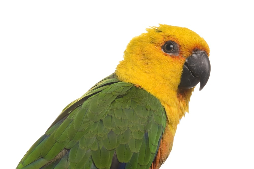 Jenday conures white background