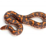 Kenyan Sand Boa Care Guide - Diet, Lifespan & More