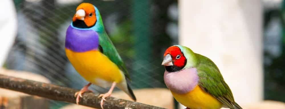 Lady Gouldian finches 1 e1575821843992