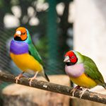 Lady Gouldian Finch - Care Guide, Info & Price