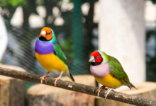 Lady Gouldian Finch Care Guide - Diet, Lifespan & More