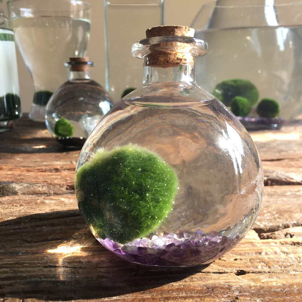 Marimo Moss Ball in bowl