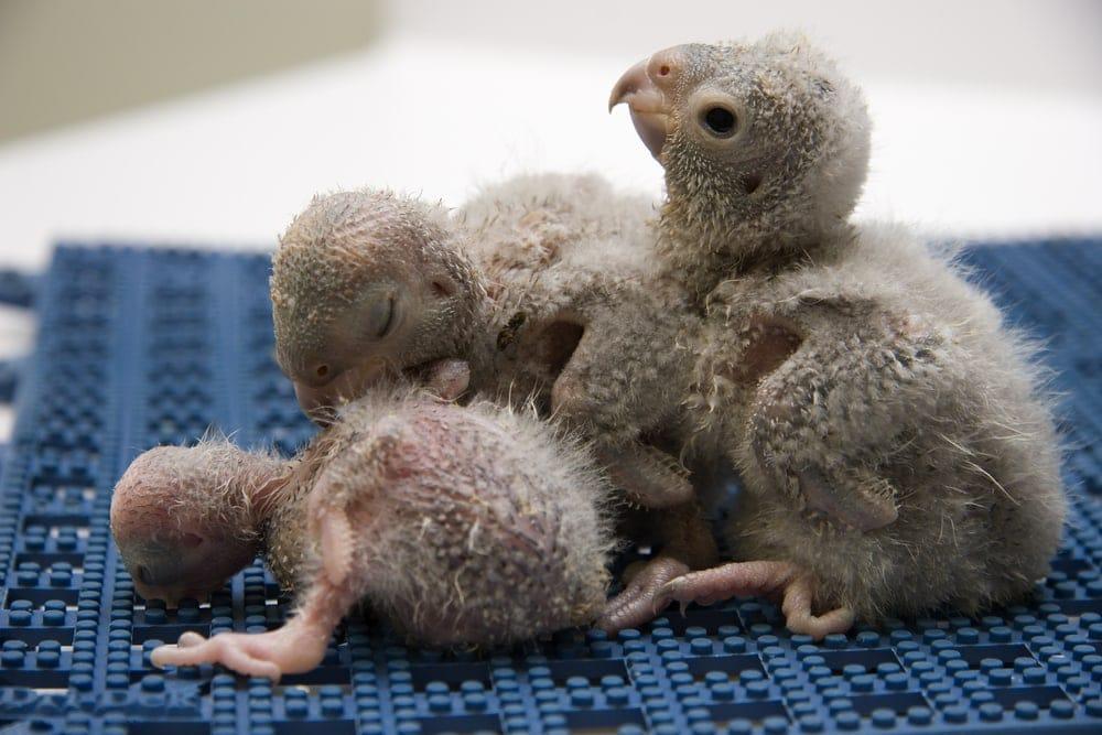 Meyer's Parrot babies