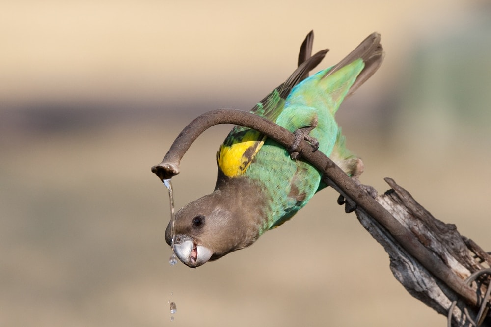 Meyer's Parrot drinking water