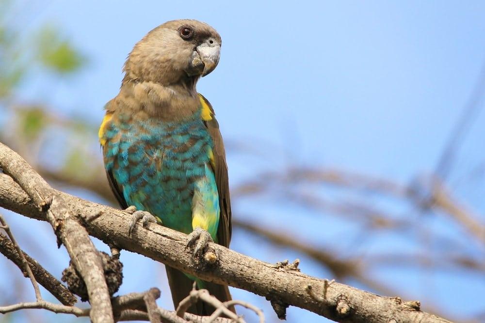 Meyer's Parrot on stick