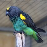 Meyer's Parrot - Care Guide, Information & Price