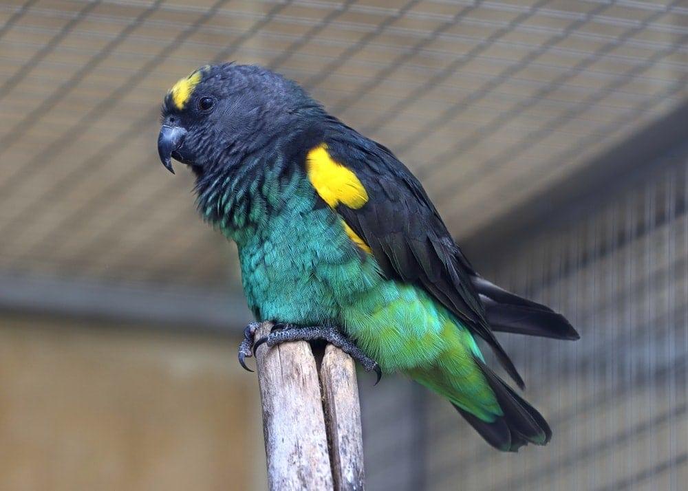 Meyer's Parrot serious face 1