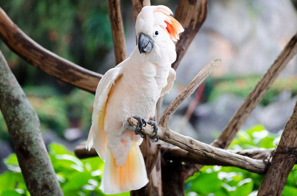 Moluccan Cockatoo on a perch