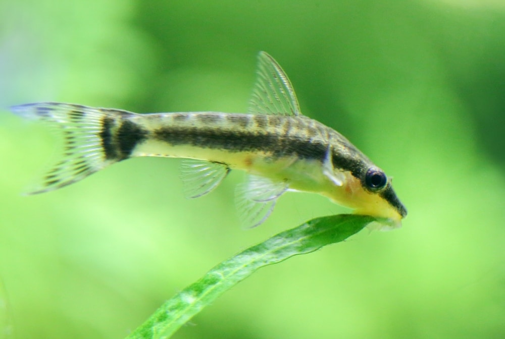 Otocinclus Catfish 3