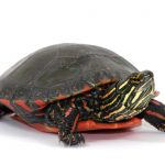 Painted Turtles - Care Guide & Prices