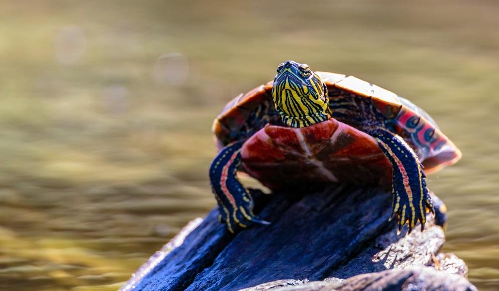 Painted turtle 2