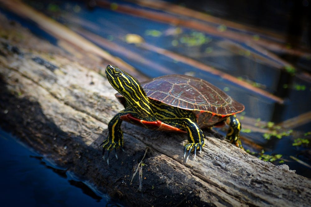 Painted turtle on stock