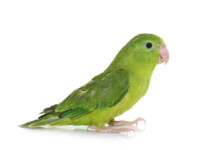 Parrotlet Care Guide - Types, Lifespan & More