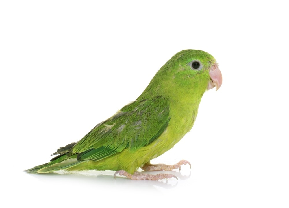 Parrotlet white background