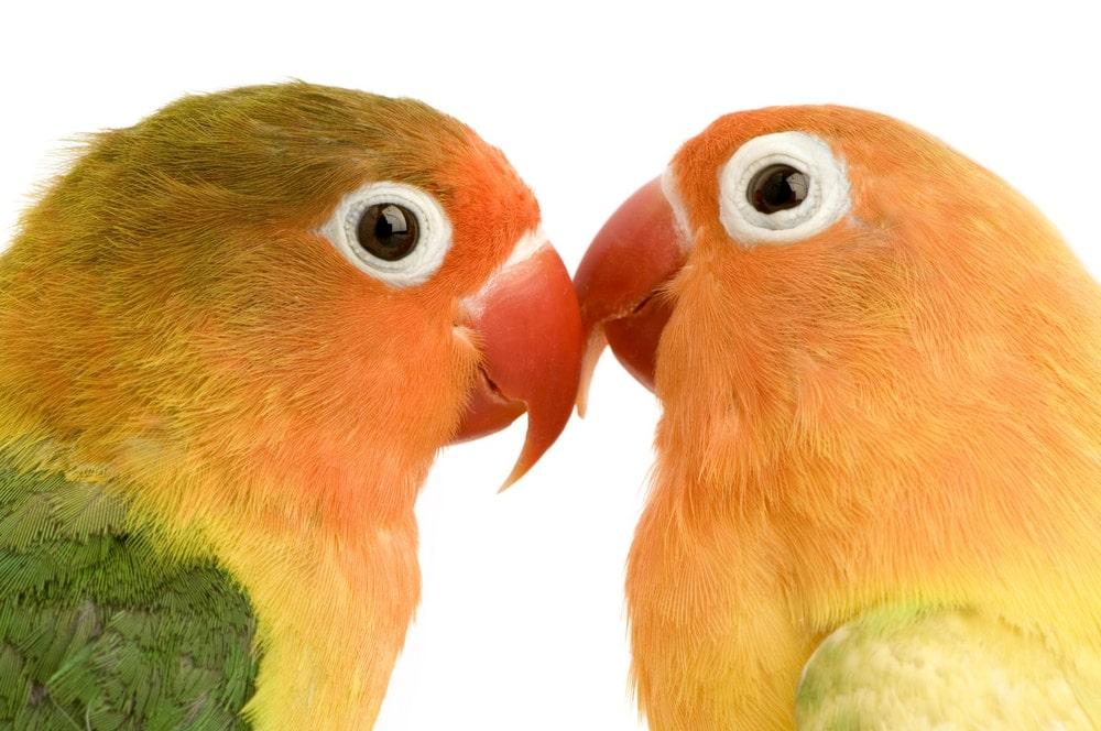 Peach Faced Lovebird couple