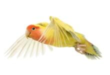 Peach Faced Lovebird Care Guide - Diet & Lifespan