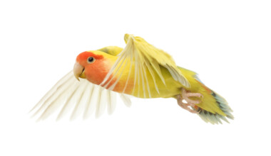 Peach Faced Lovebird flying