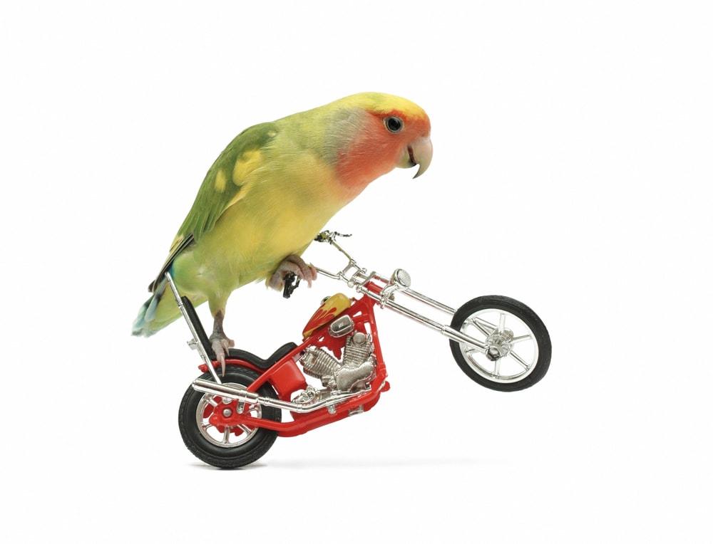 Peach Faced Lovebird on bike