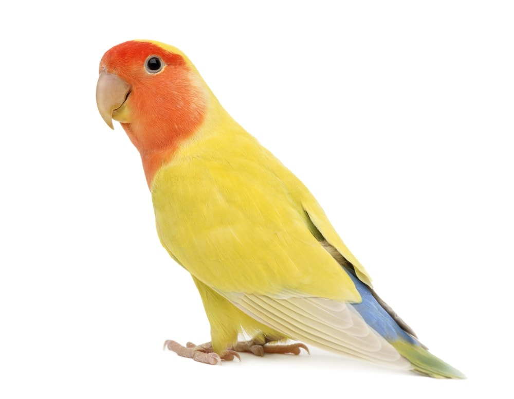 Peach Faced Lovebird white background