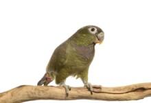 Pionus Parrot Care Guide - Diet, Lifespan & More