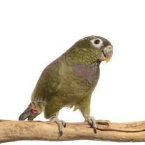 Pionus Parrots - Care Guide, Info & Price