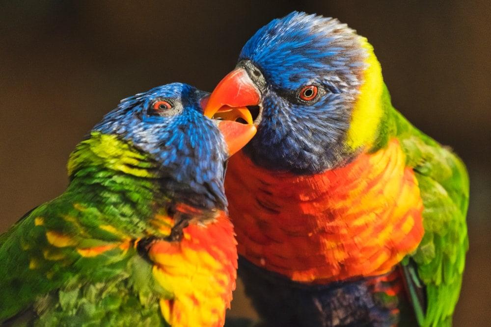 Pionus Parrots 2