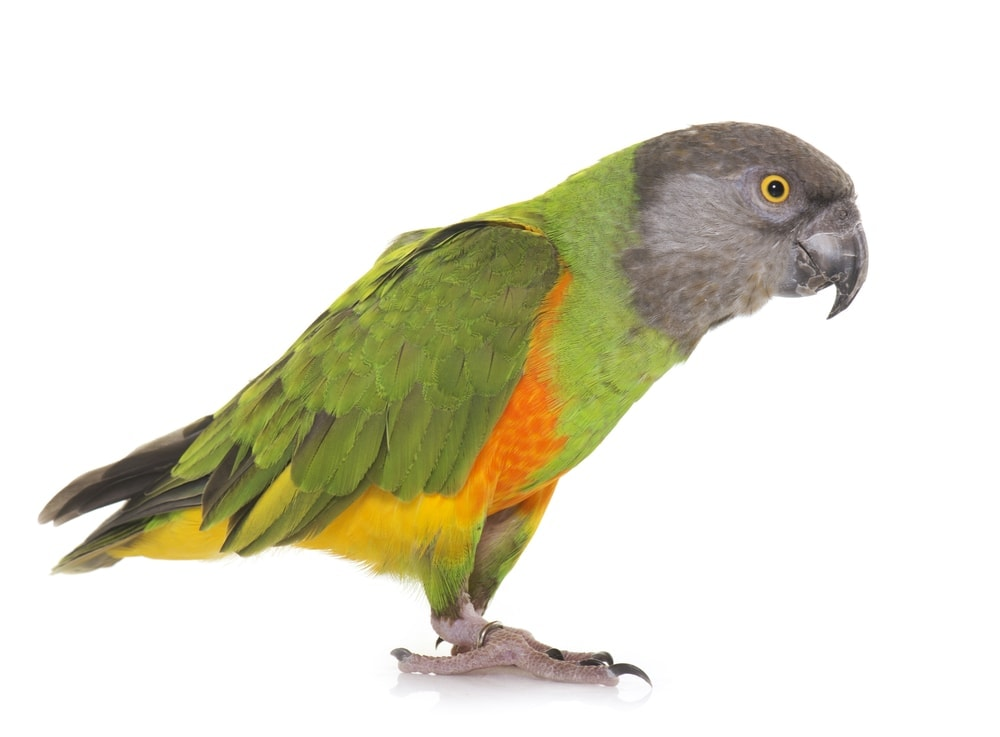 Poicephalus white background