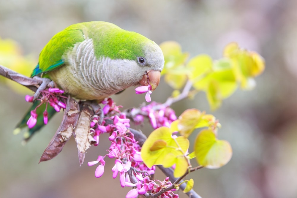 Quaker Parakeet and flower