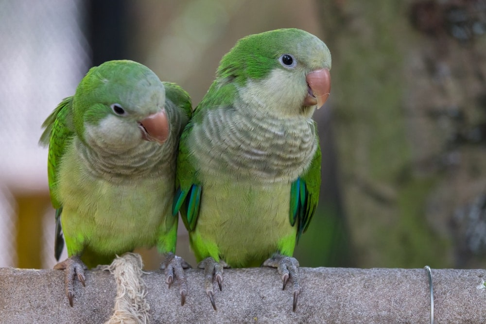 Quaker Parakeet couple