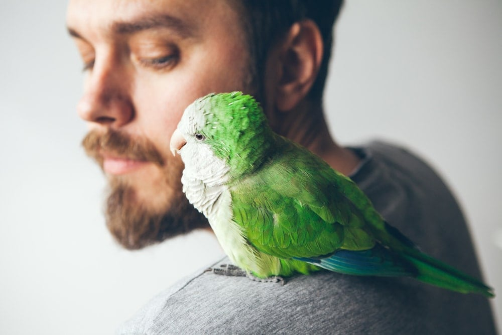 Quaker Parakeet on shoulder