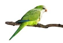 Quaker Parakeet Care Guide - Diet, Lifespan & more