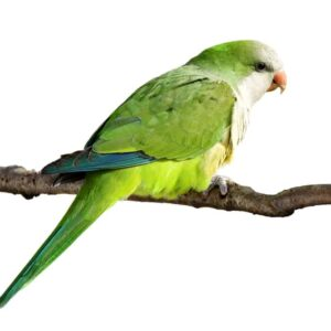 Quaker Parakeet - Care Guide, Info & Price