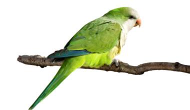 Quaker Parakeet white background